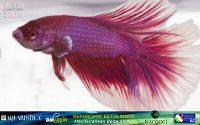 13_napoli_aquatica_betta