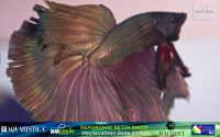 20_napoli_aquatica_betta